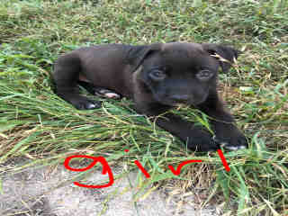 <u> Mix-Bred AMERICAN STAFFORDSHIRE TERRIER Female  Young  Puppy  (Secondary Breed: BULLDOG)</u>