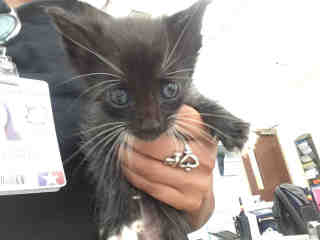 Mix-Bred DOMESTIC SHORTHAIR Male  Young  Kitten #A483853#  Animal Care Services (San Antonio) - click here to view larger pic