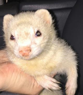 <u>FERRET Female  Adult  Exotic </u>