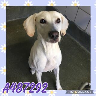 Mix-Bred LABRADOR RETRIEVER Female  Young  Puppy #A487292#  Animal Care Services (San Antonio) - click here to view larger pic