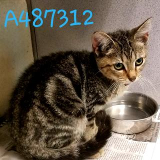 Mix-Bred DOMESTIC SHORTHAIR Male  Young  Kitten #A487312#  Animal Care Services (San Antonio) - click here to view larger pic