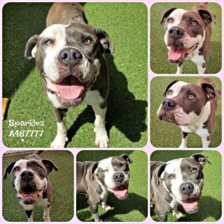 Mix-Bred AMERICAN STAFFORDSHIRE TERRIER Female  Older  Dog #A487777#  Animal Care Services (San Antonio) - click here to view larger pic
