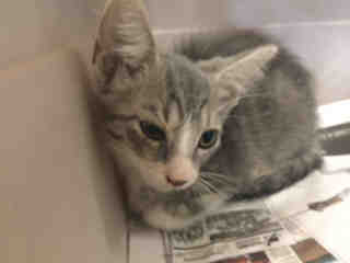 Mix-Bred DOMESTIC SHORTHAIR Male  Young  Kitten #A488011#  Animal Care Services (San Antonio) - click here to view larger pic