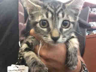 Mix-Bred DOMESTIC SHORTHAIR Male  Young  Kitten #A488013#  Animal Care Services (San Antonio) - click here to view larger pic