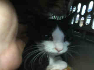 Mix-Bred DOMESTIC SHORTHAIR Male  Young  Kitten #A488109#  Animal Care Services (San Antonio) - click here to view larger pic