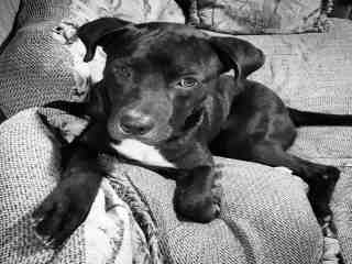 <u> Mix-Bred AMERICAN STAFFORDSHIRE TERRIER Male  Young  Puppy  (Secondary Breed: LABRADOR RETRIEVER)</u>