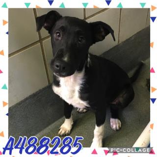 Mix-Bred LABRADOR RETRIEVER Male  Young  Puppy #A488285#  Animal Care Services (San Antonio) - click here to view larger pic