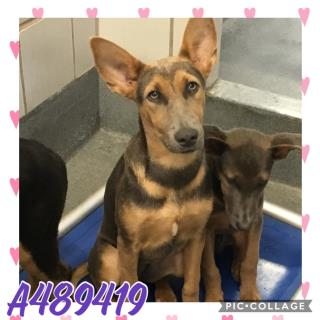 Mix-Bred DOBERMAN PINSCHER Female  Young  Puppy #A489419#  Animal Care Services (San Antonio) - click here to view larger pic