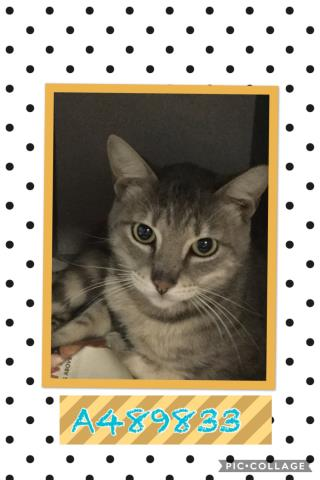 Mix-Bred DOMESTIC SHORTHAIR Male  Adult  Cat #A489833#  Animal Care Services (San Antonio) - click here to view larger pic