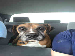 <u>BOXER Male  Adult  Dog </u>