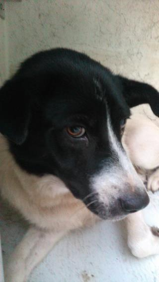 <u> Mix-Bred BORDER COLLIE Female  Adult  Dog  (Secondary Breed: BLEND)</u>