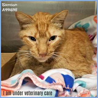 Mix-Bred DOMESTIC SHORTHAIR Male  Adult  Cat #A491698#  Animal Care Services (San Antonio) - click here to view larger pic
