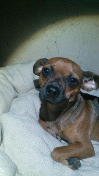 CHIHUAHUA - SMOOTH COATED Male  Young  Puppy #A491699#  Animal Care Services (San Antonio) - click here to view larger pic