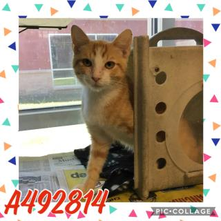 Mix-Bred DOMESTIC SHORTHAIR Male  Young  Kitten #A492814#  Animal Care Services (San Antonio) - click here to view larger pic