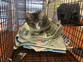 Mix-Bred DOMESTIC SHORTHAIR Female  Young  Kitten #A492821#  Animal Care Services (San Antonio) - click here to view larger pic