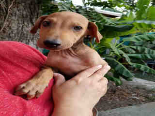 Mix-Bred DOBERMAN PINSCHER Male  Young  Puppy #A493298#  Animal Care Services (San Antonio) - click here to view larger pic