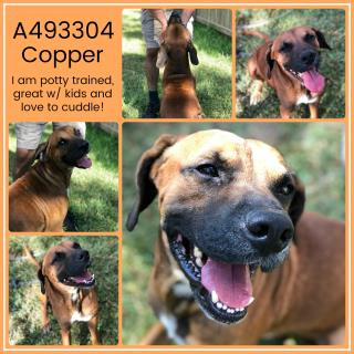 Mix-Bred BOXER Male  Adult  Dog #A493304#  Animal Care Services (San Antonio) - click here to view larger pic