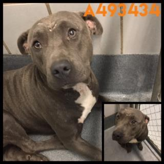 PIT BULL TERRIER Male  Adult  Dog #A493434#  Animal Care Services (San Antonio) - click here to view larger pic