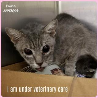 Mix-Bred DOMESTIC SHORTHAIR Female  Young  Kitten #A493694#  Animal Care Services (San Antonio) - click here to view larger pic