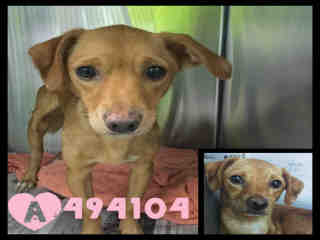 Mix-Bred TERRIER Female  Young  Puppy #A494104#  Animal Care Services (San Antonio) - click here to view larger pic
