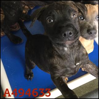 Mix-Bred LABRADOR RETRIEVER Male  Young  Puppy #A494633#  Animal Care Services (San Antonio) - click here to view larger pic