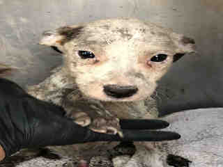 Mix-Bred AUSTRALIAN CATTLE DOG Male  Young  Puppy #A494929#  Animal Care Services (San Antonio) - click here to view larger pic