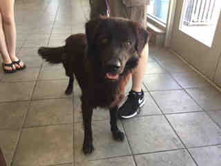 Mix-Bred FLAT-COATED RETRIEVER Male  Adult  Dog #A495126#  Animal Care Services (San Antonio) - click here to view larger pic