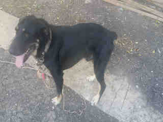 Mix-Bred ROTTWEILER Male  Adult  Dog #A496404#  Animal Care Services (San Antonio) - click here to view larger pic
