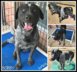 Mix-Bred AUSTRALIAN CATTLE DOG Male  Adult  Dog #A496518#  Animal Care Services (San Antonio) - click here to view larger pic