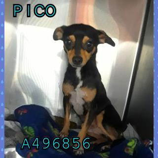 Mix-Bred CHIHUAHUA - SMOOTH COATED Male  Adult  Dog #A496856#  Animal Care Services (San Antonio) - click here to view larger pic