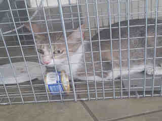 Mix-Bred DOMESTIC SHORTHAIR Young  Kitten #A497150#  Animal Care Services (San Antonio) - click here to view larger pic