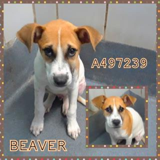 Mix-Bred SHEPHERD Male  Young  Puppy #A497239#  Animal Care Services (San Antonio) - click here to view larger pic