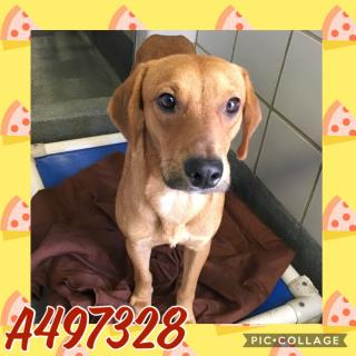 Mix-Bred LABRADOR RETRIEVER Male  Young  Puppy #A497328#  Animal Care Services (San Antonio) - click here to view larger pic