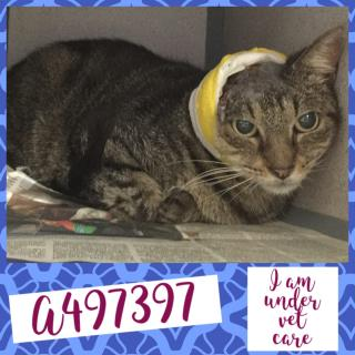 Mix-Bred DOMESTIC SHORTHAIR Female  Adult  Cat #A497397#  Animal Care Services (San Antonio) - click here to view larger pic