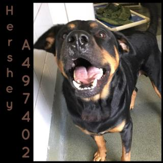 Mix-Bred ROTTWEILER Male  Adult  Dog #A497402#  Animal Care Services (San Antonio) - click here to view larger pic