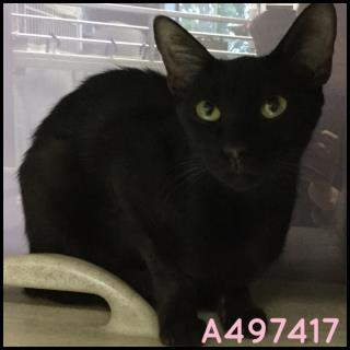 Mix-Bred DOMESTIC SHORTHAIR Female  Adult  Cat #A497417#  Animal Care Services (San Antonio) - click here to view larger pic