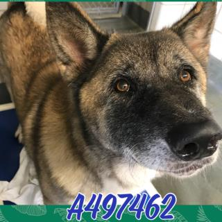 AKITA Male  Adult  Dog #A497462#  - click here to view larger pic