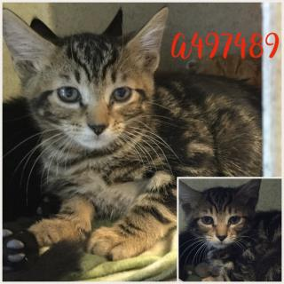 Mix-Bred DOMESTIC SHORTHAIR Young  Kitten #A497489#  Animal Care Services (San Antonio) - click here to view larger pic