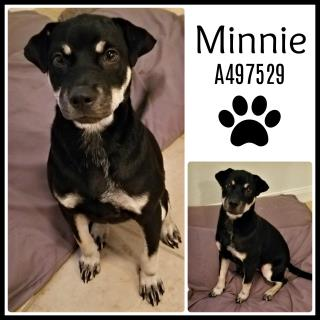 Mix-Bred SHEPHERD Female  Young  Puppy #A497529#  Animal Care Services (San Antonio) - click here to view larger pic