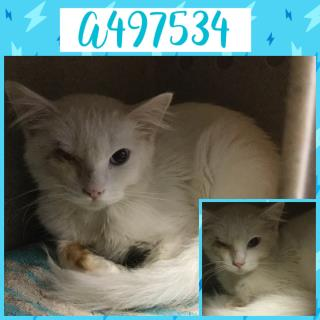 Mix-Bred DOMESTIC MEDIUMHAIR Male  Young  Kitten #A497534#  Animal Care Services (San Antonio) - click here to view larger pic