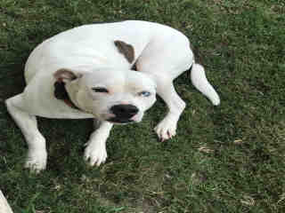 PIT BULL TERRIER Female  Young  Puppy #A497637#  Animal Care Services (San Antonio) - click here to view larger pic