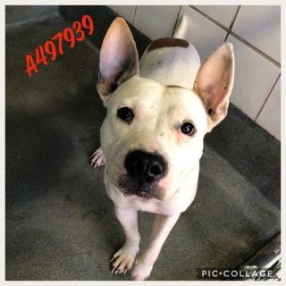 Mix-Bred AMERICAN STAFFORDSHIRE TERRIER Male  Adult  Dog #A497939#  Animal Care Services (San Antonio) - click here to view larger pic