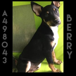 Mix-Bred CHIHUAHUA - SMOOTH COATED Male  Young  Puppy #A498043#  Animal Care Services (San Antonio) - click here to view larger pic