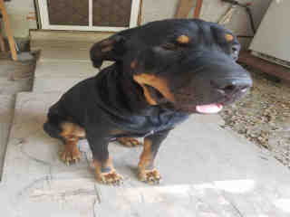 Mix-Bred ROTTWEILER Male  Adult  Dog #A498100#  Animal Care Services (San Antonio) - click here to view larger pic