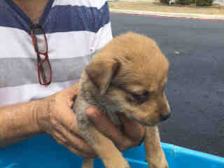 Mix-Bred SHEPHERD Young  Puppy #A498230#  Animal Care Services (San Antonio) - click here to view larger pic