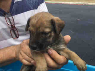 Mix-Bred SHEPHERD Young  Puppy #A498231#  Animal Care Services (San Antonio) - click here to view larger pic