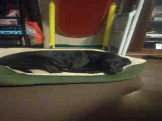 Mix-Bred LABRADOR RETRIEVER Female  Adult  Dog #A498513#  Animal Care Services (San Antonio) - click here to view larger pic