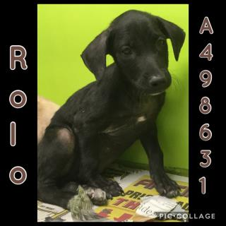 Mix-Bred LABRADOR RETRIEVER Male  Young  Puppy #A498631#  Animal Care Services (San Antonio) - click here to view larger pic