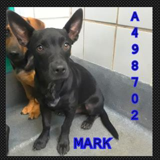 Mix-Bred DACHSHUND Male  Young  Puppy #A498702#  Animal Care Services (San Antonio) - click here to view larger pic