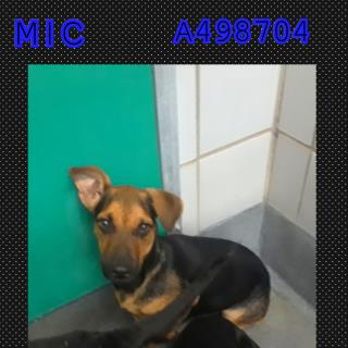 Mix-Bred DACHSHUND Male  Young  Puppy #A498704#  Animal Care Services (San Antonio) - click here to view larger pic